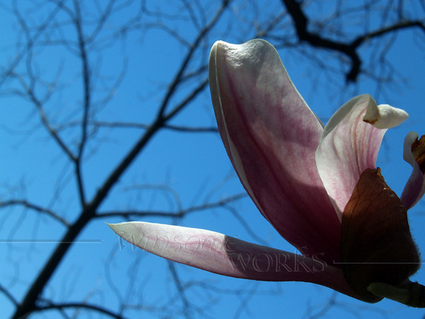 Back-lit Magnolia Bud with Branches in Background