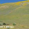 Gorman Hills wildflowers-5