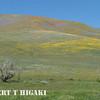 Gorman Hills wildflowers-11