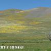 Gorman Hills wildflowers-10