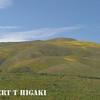Gorman Hills wildflowers-12