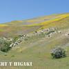 Gorman Hills wildflowers-1