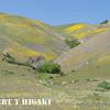 Gorman Hills wildflowers-3