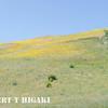 Gorman Hills wildflowers-2