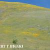 Gorman Hills wildflowers-6