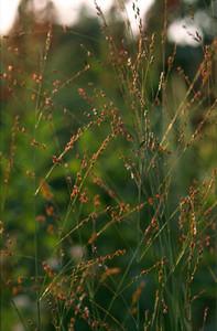 Panicum virgatum 'Shenandoah' bloeiaar