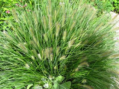 Pennisetum alopecuroides'Hameln'