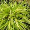 Hakonochlea macra 'Aureola'