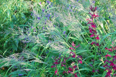 Calamagrostis brachytricha coll  Korea + Lobelia 'Ruby Slippers'