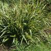 Luzula sylvatica 'Aureomarginata'