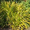 Luzula sylvatica 'Wintergold'