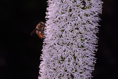 "Honey bee on Grass Tree,m ""Xanthorrhoea sp."""