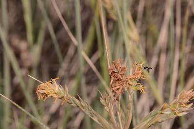 "Male flower of ""Spinifex sericeus"" with native bee."