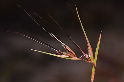 "Australian kangaroo grass, ""Themeda australis"".  I still have to work out the reproduction of this grass."