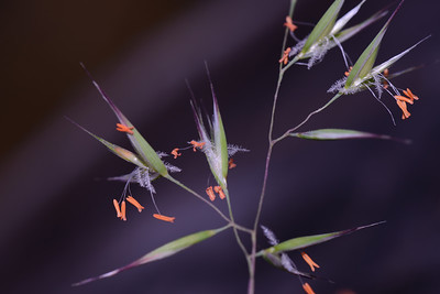 "Red Anther Grass, found in Eucalyptus forest, ""Rytidosperma pallidum"""