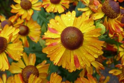 Helenium zaailing tuinen mien ruys