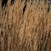 Grasses-05731