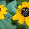 Brown Eyed Susans-05713