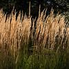 Grasses-05728