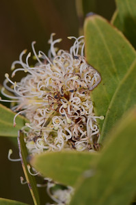 "We initially thought this to be Scrub beefwood, ""Stenocarpus salignus"" which grows in rainforest. We now have correctly identifed this as ""Hakea florulenta"".  The other ""Hakea sp."" we have seen in the Park are the ""H. laevipes"" and the ""H.  actites"".  All are shown in the gallery. According to Barry's book this plant, the ""H. florulenta"" has broader leaf-like phyllodes, and longer flowers."