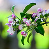 Haralson Apple Blossoms - Green Background