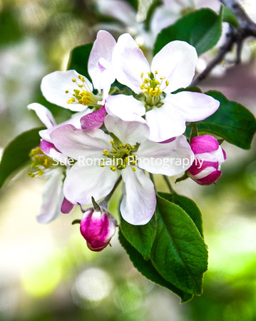 Haralson Apple Blossoms