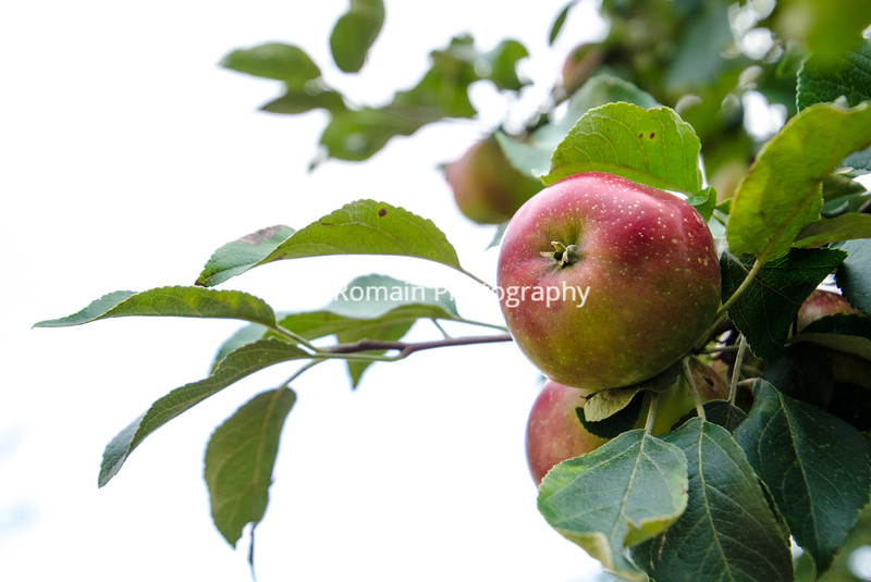 Red Haralson Apple