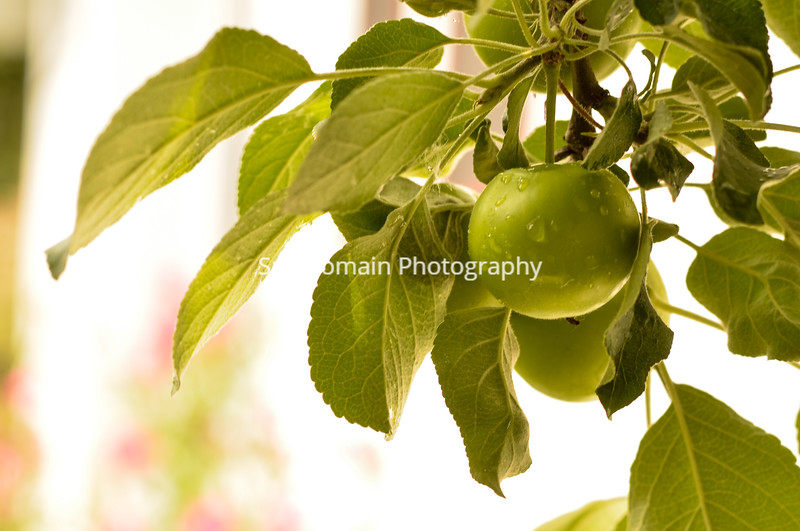 Green Haralson Apple