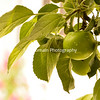 Green Haralson Apple