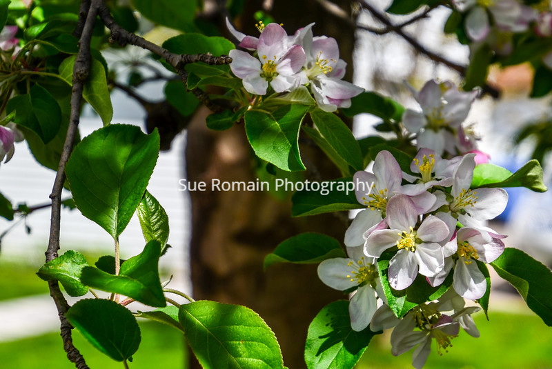 Haralson Apple Blossoms - and Tree Trunk