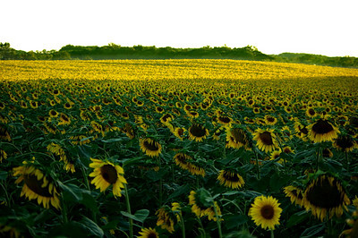 Harford County Sunflowers
