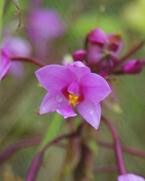 Malayan Orchid
