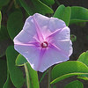 Pohuehue (Beach Morning Glory)