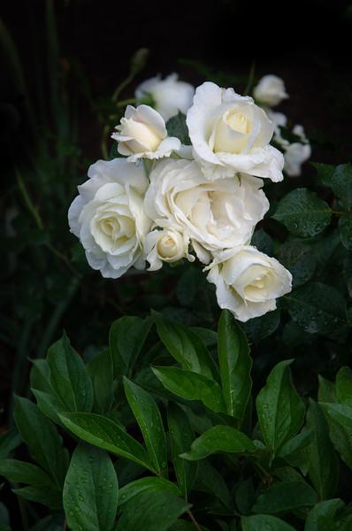 Hawarden Roses May 22 2014