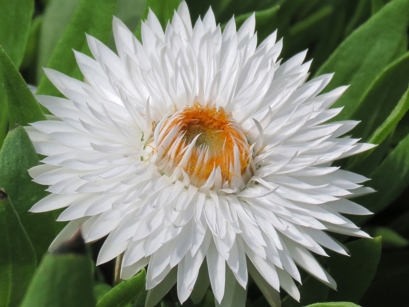 White strawflower.