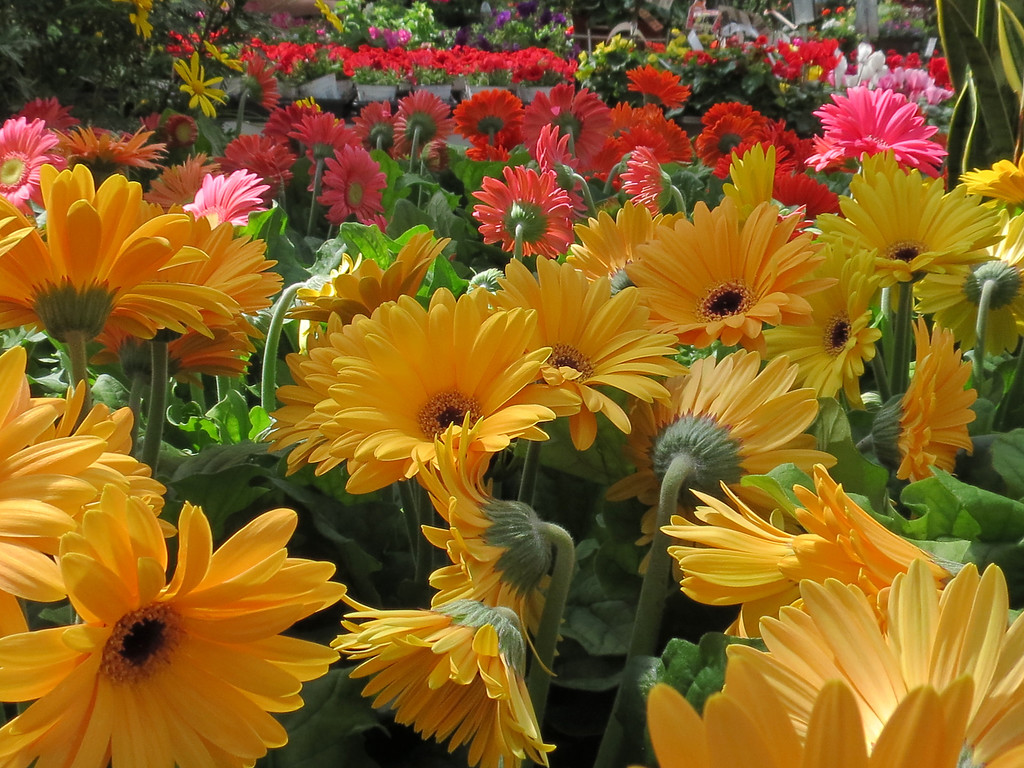 Yellow and red Gerbera daisies.