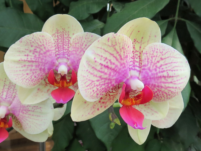 Cream-colored and pink speckled orchid.
