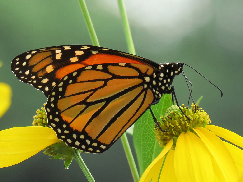Monarch Butterfly on Coneflower