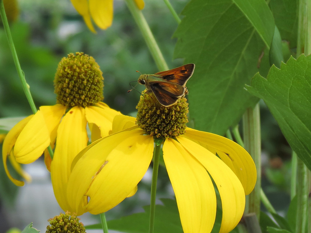 Skipper Butterfly on Yellow Coneflower