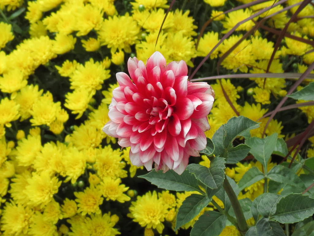 Dahlia and Yellow Mums