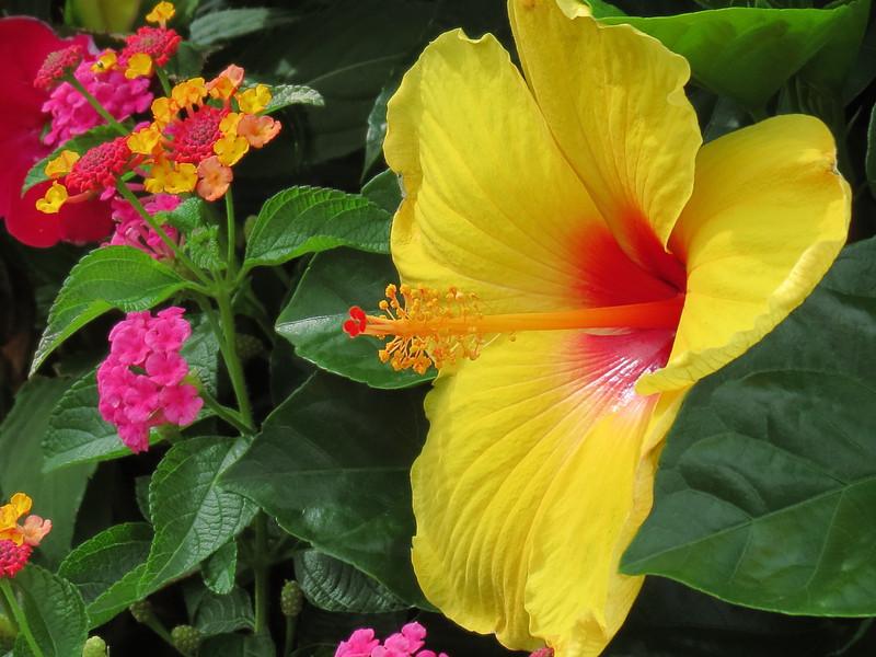 Yellow Hibiscus and Lantana