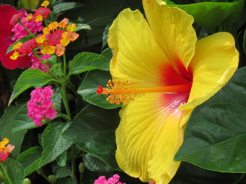 Yellow Hibiscus and Lantana