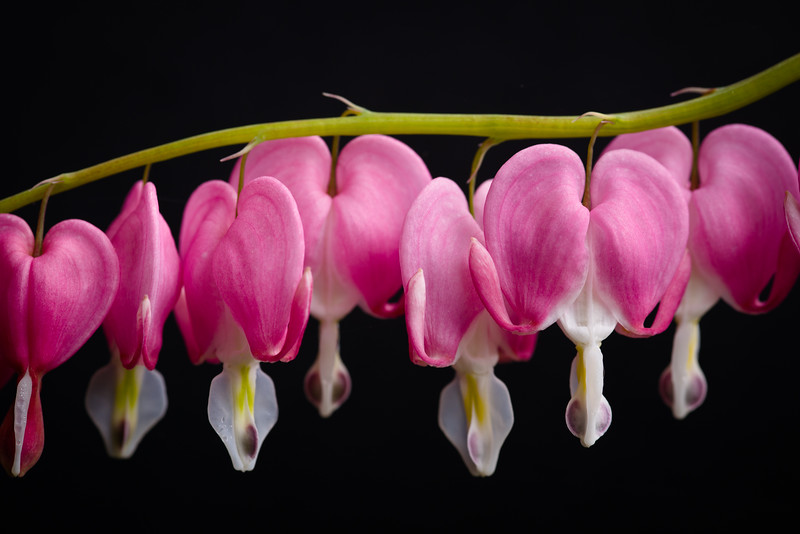 Bleeding Hearts 102
