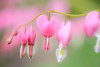 Bleeding Hearts 039