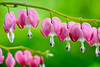 Bleeding Hearts 061