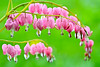 Bleeding Hearts 009