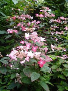 Hydrangea serrata 'Benigaku'