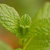 Common Mint - Mentha