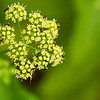 Ants climbing on parsley seeds and flowers