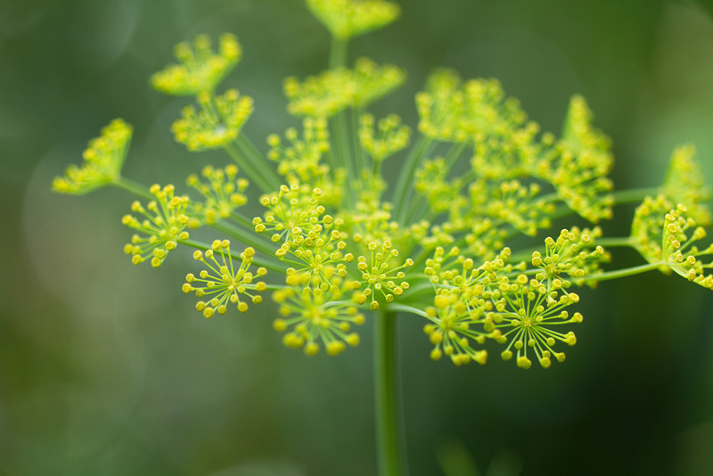 Dill - Herb